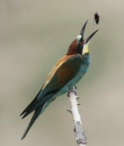 European Bee-eater bird about to eat a bee.