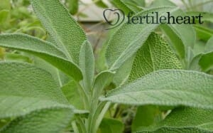 cooking-with- fertility herbs -sage