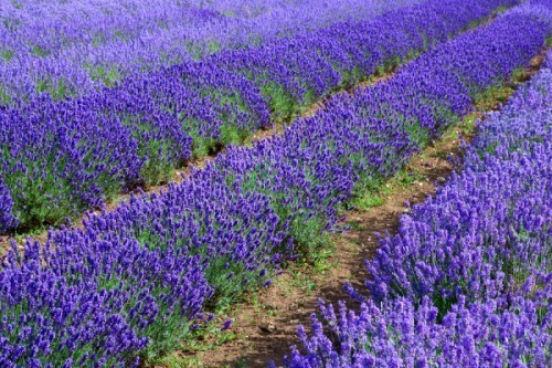 Let's turn fields of plastic into fields of lavender!